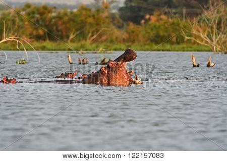 Hippos In Lake Naivasha