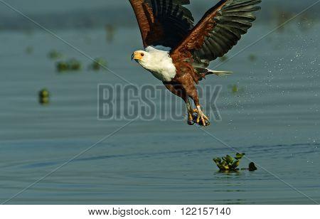 White tailed eagle on the lake Naivasha