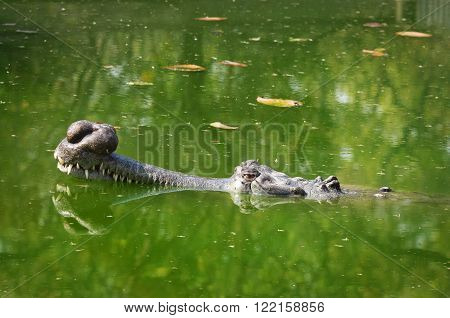 Gavial in pond in Chitwan National Park Nepal