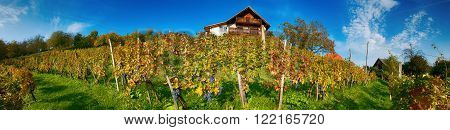 Panoramic view of vineyards in fall with ripe grapes portrayed on blue sky.