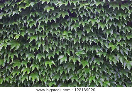 background green leaves of wild grapes on a wall