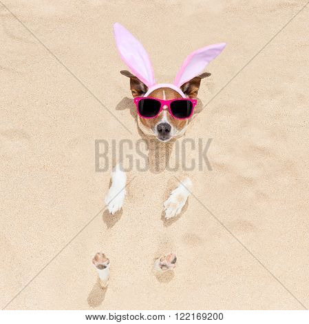 easter bunny ears jack russell dog , at the beach buried in sand , on spring easter holidays