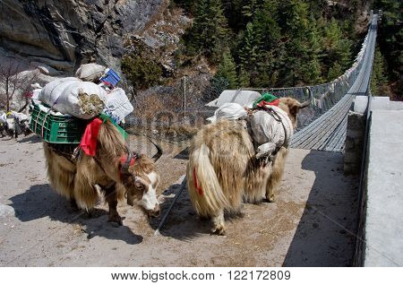 Yak On The Bridge   In Nepal
