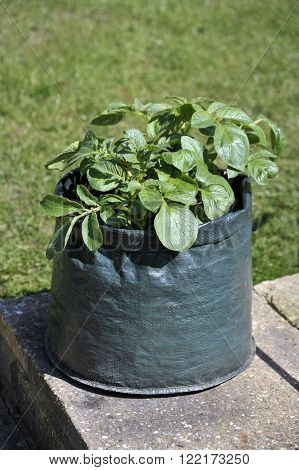 Container grown potatoes in a space saving patio bag of compost. Variety Charlotte a waxy salad variety suited to containers.