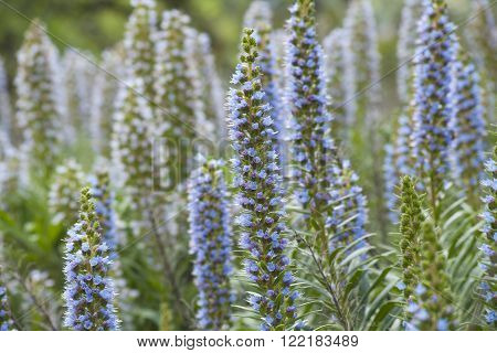 Flora of Gran Canaria - Echium callithyrsum, Blue bugloss of Gran Canaria, endemic and vulnerable specia, flowers around Tenteniguada, Valsequillo municipality poster