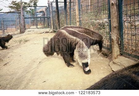 SEOUL / KOREA - CIRCA 1987: A giant anteater (Myrmecophaga tridactyla), also called the ant bear, strolls about in an exhibit in the Seoul Zoo.