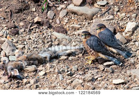 Two merlins (small falcons) stand over a dead snowshoe hare in Denali National Park