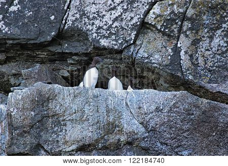 Common murres roosting in the rocks in Prince William Sound