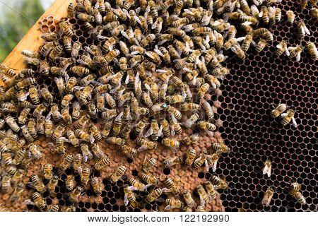 Queen bee detail. Apiculture, rural life.  Beekeeping