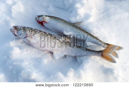 Two Fish Smelt Lying In The Snow.