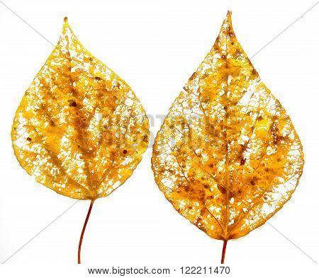 drawing of dried fall leaves of plants on a lattice of thin straws and branches isolated on white watercolor paper background for scrapbook painted wooden planks object roughage autumn leaf.