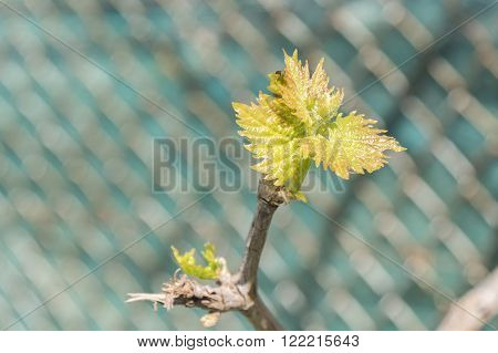 Sprout of Vitis vinifera grape vine under the sun