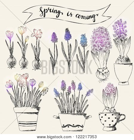 Set of vector hand drawn line art pot flowers and spring lettering with colored spots. Spring hyacinth grape hyacinth crocus ink drawings for easter decor garden backgrounds floral design.