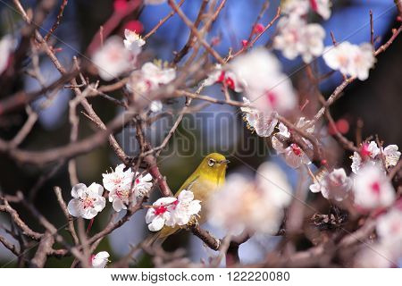 Mejiro on a twig of japanese apricot in spring
