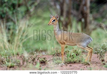 Kirk Dik-dik (Madoqua kirkii) the smallest antelope in the world