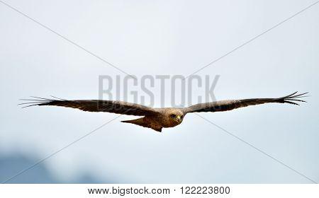 The African marsh harrier (Circus ranivorus)