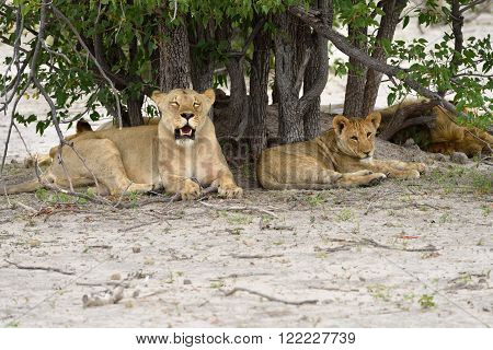 Lions pride resting ander tree. Lioness and her cub lion male background. Etosha national park Namibia