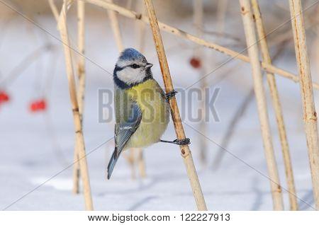 Perching Blue Tit (Parus caeruleus Cyanistes caeruleus) in snowball bush poster