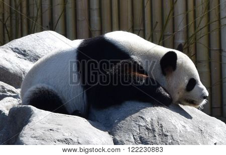 Photograph of an adult panda bear resting.
