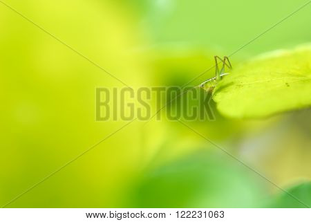 Close up Grasshopper perching on a leaf bright green background. ** Note: Shallow depth of field