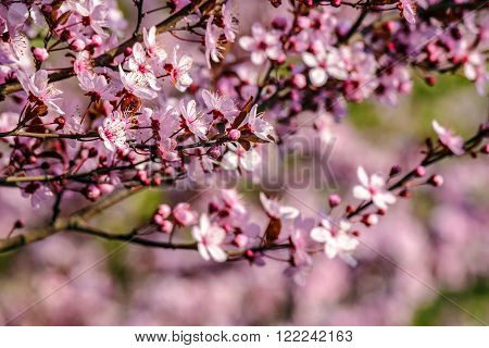 twig with pink flowers of apple tree on a blurred background of fruit garden