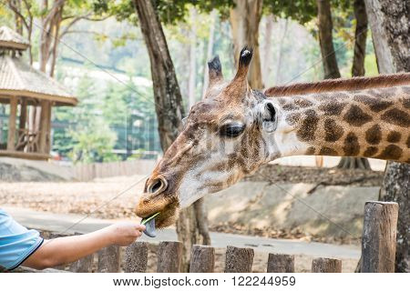 Feeding the giraffes on safari Closeup background