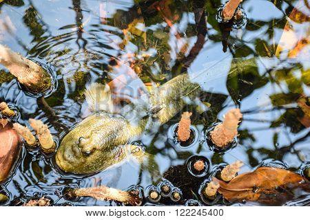 Mudskipper Amphibious fish on the water background