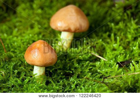 Two Mushrooms In Moss