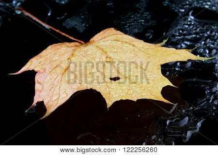 a maple leaf with water on black background ** Note: Shallow depth of field