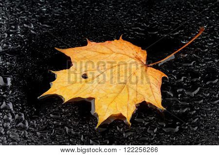 a wet maple leaf on a black background
