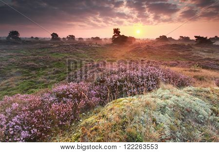 purple summer sunrise over heathland in Netherlands