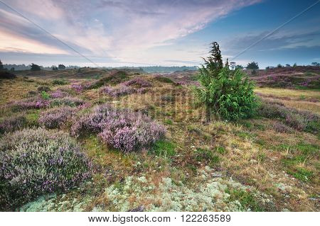 beautiful heathland in summer in Drenthe Netherlands