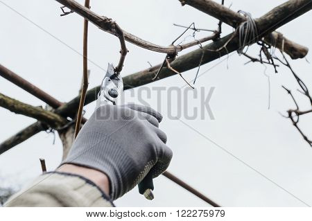 Work in the garden. Man cutting grape vine using secateurs.