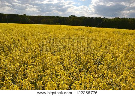 Field of yellow flowering oilseed rape isolated on a cloudy blue sky in springtime (Brassica napus) Blooming canola rapeseed plant landscape. Slovakia