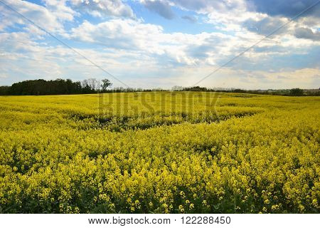 Field of yellow flowering oilseed rape isolated on a cloudy blue sky in springtime (Brassica napus) Blooming canola rapeseed plant landscape. Slovakia ** Note: Soft Focus at 100%, best at smaller sizes