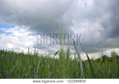 Green Wheat (triticum) Field On Dark Cloudy Sky In Springtime. Close Up Of Unripe Wheat Ears. Slovak
