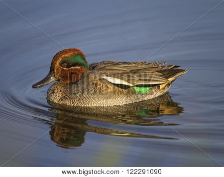 Eurasian teal or common teal anas crecca floating on the water
