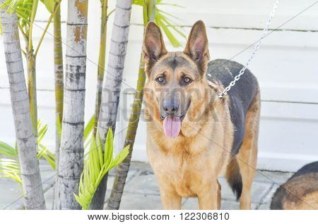 american shepherd dog or Alsatian dog, dog ** Note: Soft Focus at 100%, best at smaller sizes