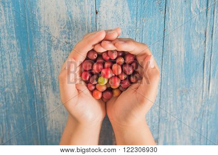 Fresh coffee beans , Red coffee beans in hand.Dry coffee beans placed on blue wooden floor background.Focus coffee beans in hand.