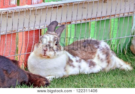 Cottontail bunny rabbit on animal farm, Selective focus