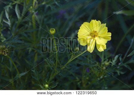 Yellow single daisy flower growing in the garden