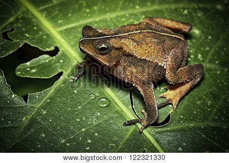tropical toad from Amazon rain forest in Bolivia, Brazil Peru And Ecuador, Rhinella typhonius. A beautiful amphibian and frog of the Amazonian rainforest.