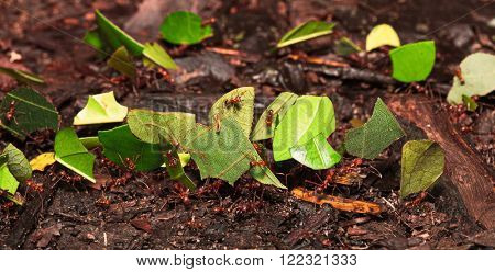 leaf cutter ants in Amazon rainforest, Atta sp. Macro of small amazonian rainforest animals.