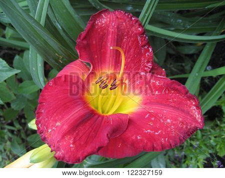 macrofilming of the growing flower of a day lily Hemerocallis of claret red yellow color on a bed in a garden in dew drops