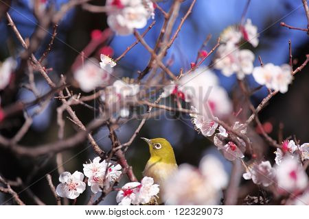 Beautiful?plum flowers and  Japanese  white-eye?in  spring