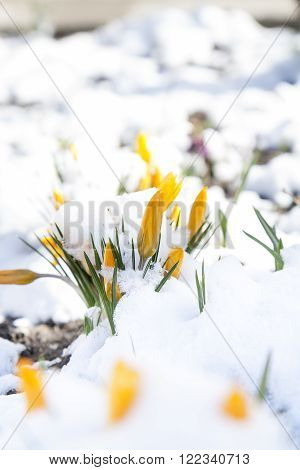 Spring yellow crocuses flower covered with snow, beautiful spring card