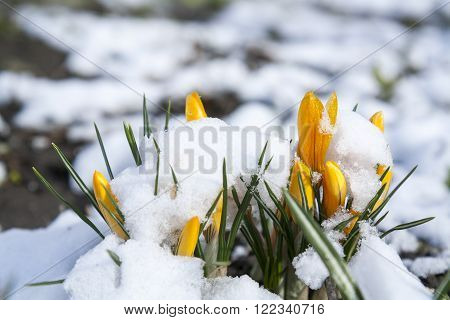 Spring yellow crocuses flower covered with snow, whims of nature