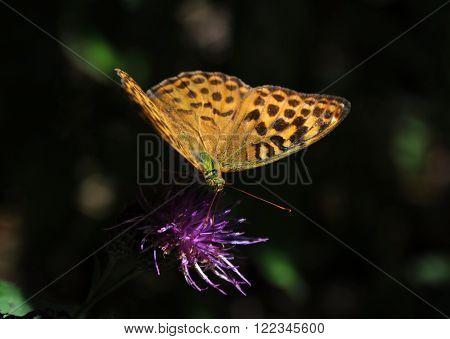 Cardinal butterfly (Argynnis pandora) on a purple flower
