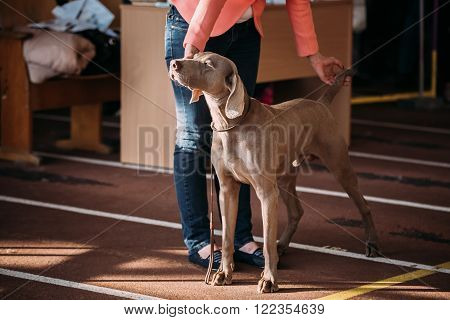 The Weimaraner is a large dog that was originally bred for hunting in the early 19th century. Early Weimaraners were used for hunting smaller animals like fowl, rabbits, and foxes. poster