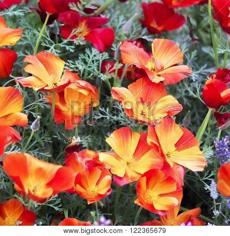 Californian poppy flowers beauty. Colorful Eschscholzia Californica .